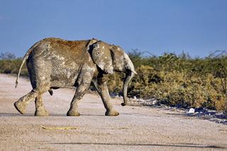 Junger Elefant, Etosha-Nationalpark, Namibia, (Loxodonta africana)   young elephant, Etosha National Park, Namibia, (Loxodonta africana)