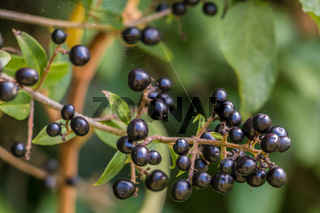 Black berries and green leaves on a bush in the garden