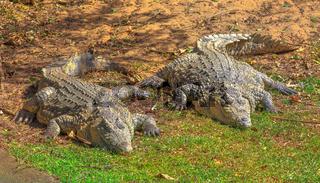 African Crocodiles resting