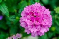 Pink Hydrangeas  flower