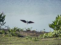 Black-necked Stilt landing