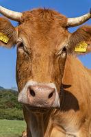 Porträt eines Rindes