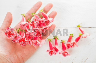 Small red spring flowers on hand on white wooden background