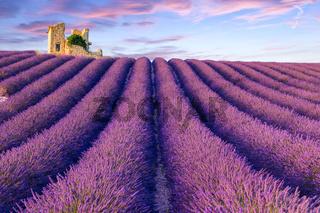 Lavender field summer  near Valensole