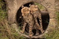 Cheetah cubs nuzzling each other in pipe