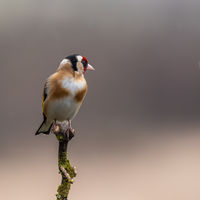 Goldfinch perched on a branch