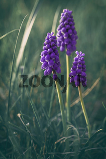 three purple grape hyacinth on the meadow