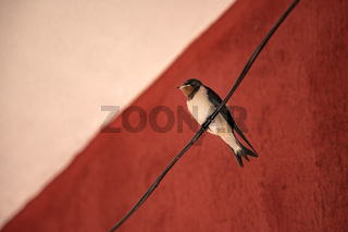 Alone swallow bird sitting on a wire at red background. Close up