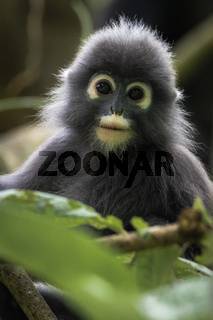 Dusky Langur in amongst vegetation