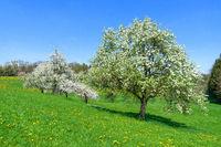 Blühende Obstbäume auf einer abschüssigen Blumenwiese