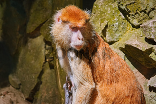 Portrait of Patas Monkey