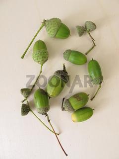 Grüne Eicheln mit Eichelhütchen im Spätsommer