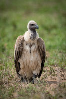 White-backed vulture standing on grassland facing right