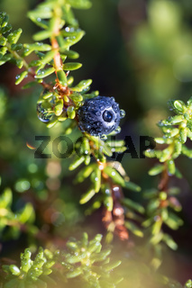 Empetrum nigrum, crowberry, black crowberry, in western Alaska, blackberry is a flowering plant species in the heather family Ericaceae with a near circumboreal distribution in the northern hemisphere