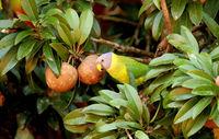 Plum headed parakeet, Psitaculla Cyanocephala, female, Nagarhole National Park, Karnataka, India
