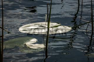 Seerosenblatt im See