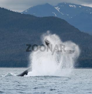 Humpback Whale Tail Flip, Alaska