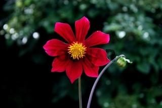 einfache Dahlienblüte, rot