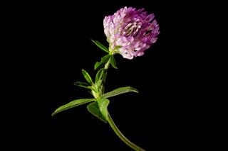 Trifolium pratense_red clover on black