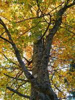 Stamm und Krone einer Buche / Fagus in Herbstfarben
