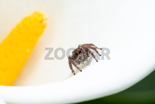 Jumping spider on Calla Lily