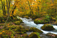 Oirase River flow passing rocks covered with green moss and colorful falling leaves