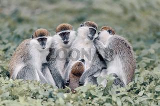 Vervet monkey familyin Awasa, Ethiopia