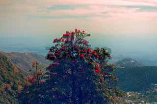 Flowering bushes, red tree rhododendron Himalayas