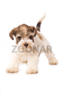 Toy snauzer dog isolated on white background
