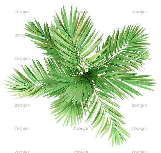golden cane palm tree isolated on white background. top view