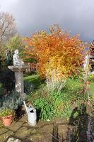 Japanischer Ahorn oder Thunbergs Fächer-Ahorn (Acer japonicum) in prächtigem Herbstlaub