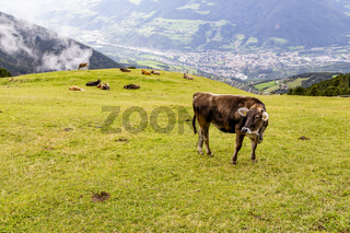 Kuh auf Almwiese, Südtirol, Italien, cow on meadow, south tyrol, italy
