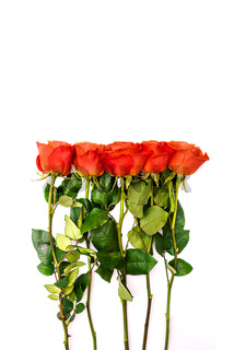 Red roses and long green stems. Colorful flowers on white background. Green leaves and bright flower buds. Place for text. Copy space