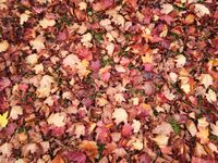 Autumnal defoliation. Cover of maple red leaves on the earth