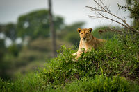 Lioness looks at camera from grassy mound