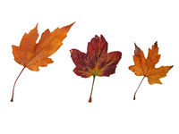 three mixed brown and red autumn leaves on a white background
