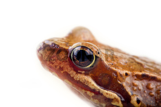 Common frog, half-length portrait, isolated on white background