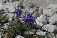 Alpen Leinkraut