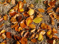 Buchenblätter und Nadeln in Herbstfarben am Waldboden