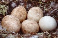 Forest-breeding bean goose nest