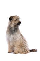 brown Pyrenean Shepherd dog