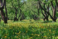 beautiful old apple orchard with blooming dandelions