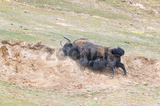 wild yak in mud bath