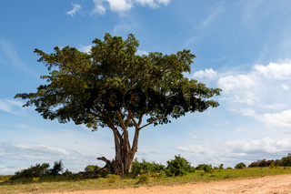 Full grown tree on the dusty gravel road