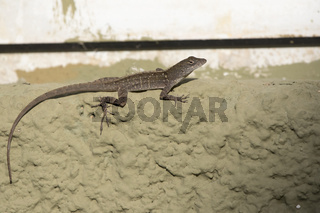 brown anole that sits on the wall of the building on a bright sunny day