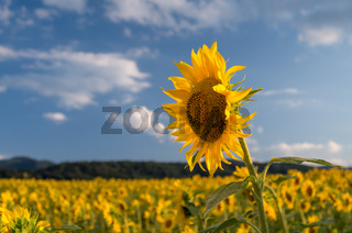 Field of sunflowers. Sunflowers flowers. Landscape from a sunflower farm. A field of sunflowers.
