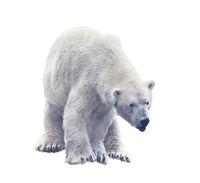 Polar bear isolated on white. Digital painting.