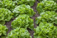 Feld mit Salatkoepfen