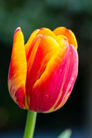Beautiful tulip close-up, spring flowers tulips blossom in the garden, orange - yellow tulip