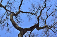 Old dry tree on blue sky background. Natural background